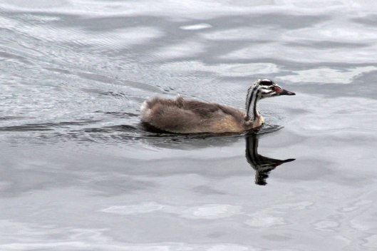 170821i Great crested grebe