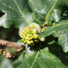 170823 Andricus quercuscalicis Oak knopper gall (1)