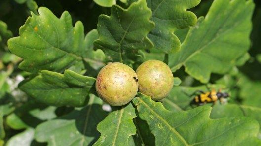 170824 Andricus kollari Oak Marble gall (1)