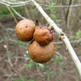 170824 Andricus kollari Oak Marble gall (2)