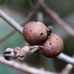 170824 Andricus kollari Oak Marble gall (3)