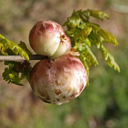 170824 Biorhiza pallida Oak apple gall (2)