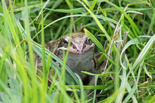 170826 smiling frog