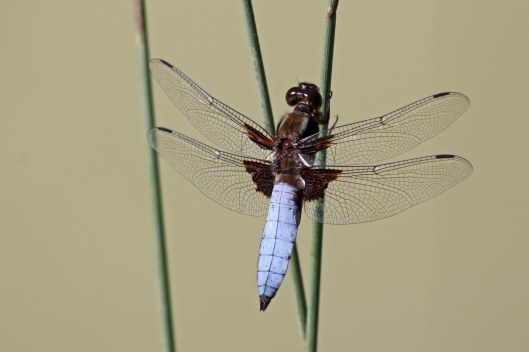 170827 Broad-bodied chaser male
