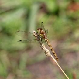 170827 Common darter female