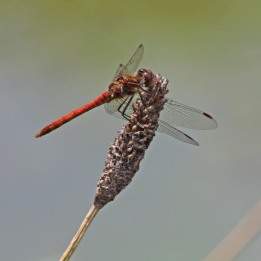 170827 Common darter male