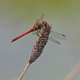 170827 Common darter male