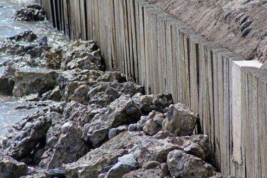170828f Rock pipit