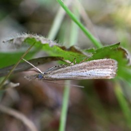 170829 Agriphila straminella Straw Grass-veneer