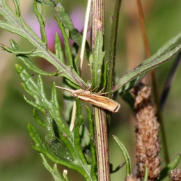 170829 Agriphila tristella Common grass-veneer