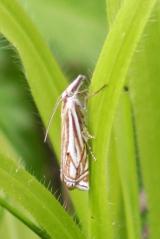 170829 Crambus lathoniellus Hook-streak Grass-veneer (1)