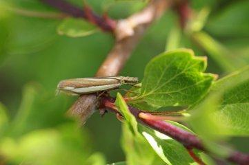 170829 Crambus pascuella Inlaid grass-veneer (1)