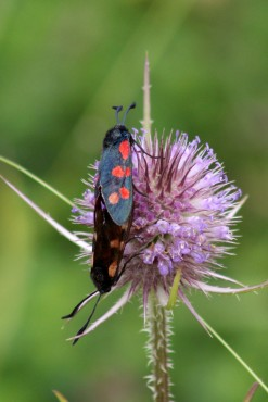 170830 whats on the teasel 6spot burnet (1)