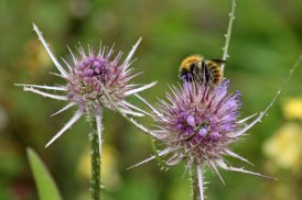 170830 whats on the teasel bees (1)