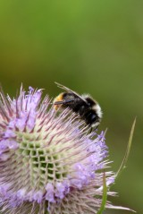 170830 whats on the teasel bees (2)