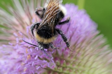 170830 whats on the teasel bees (3)