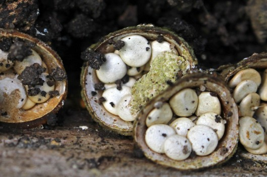 170831 Common bird's-nest fungus (4)