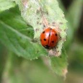 170903 7-spot ladybird