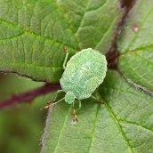 170903 Green shieldbug