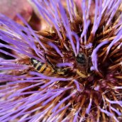 170903 Honey bees