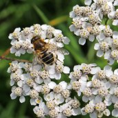 170903 Hoverfly Eristalis sp