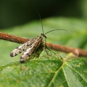 170903 Scorpion fly