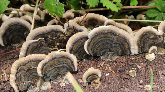 170903 Trametes versicolor Turkeytail