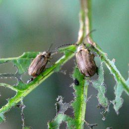 170904 Viburnum beetle (1)
