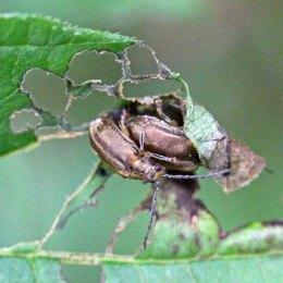 170904 Viburnum beetle (3)