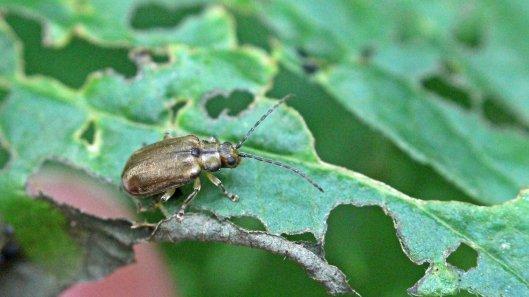 170904 Viburnum beetle (4)
