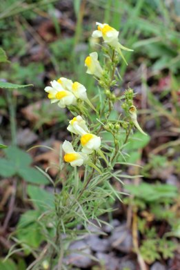 170908 Common toadflax (1)