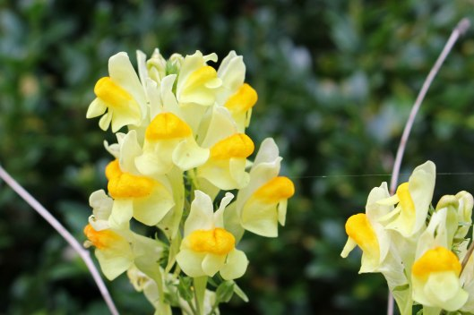 170908 Common toadflax (2)