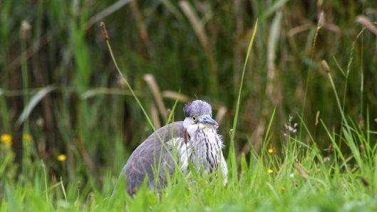 170910 Grey heron (3)