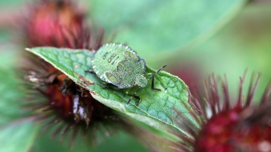 170912 Green shield bug family (1)