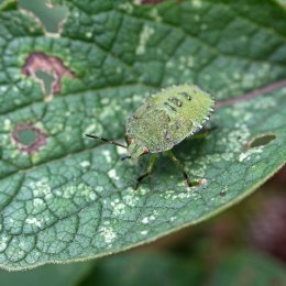 170912 Green shield bug family (7)