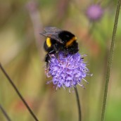 170916 Bumble bee