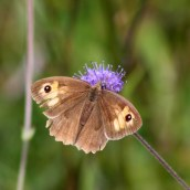 170916 Meadow brown