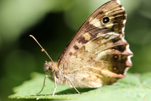 170917 Hello from a Speckled wood