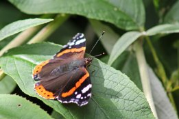 170921 Red admiral (3)