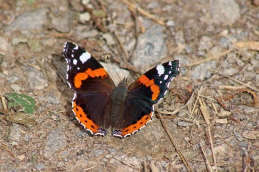 170921 Red admiral (4)