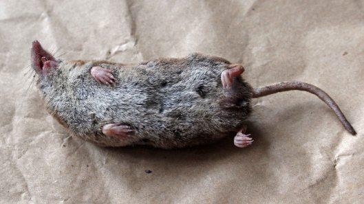 170923 Pygmy shrew (2)