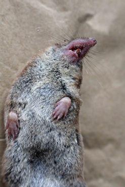 170923 Pygmy shrew (3)