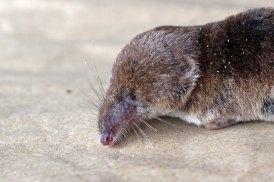 170923 Pygmy shrew (4)