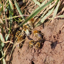 170924 Ivy bees Colletes hederae (4)