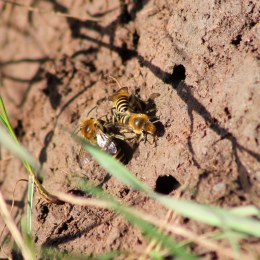 170924 Ivy bees Colletes hederae (5)