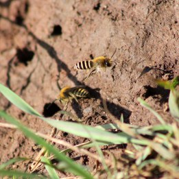 170924 Ivy bees Colletes hederae (6)