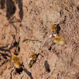 170924 Ivy bees Colletes hederae (7)