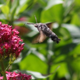 170925 Humming-bird Hawk-moth (1)
