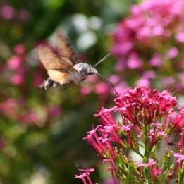 170925 Humming-bird Hawk-moth (2)
