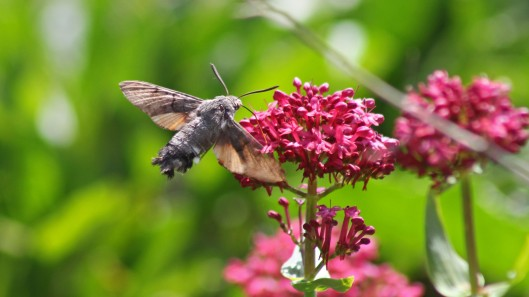 170925 Humming-bird Hawk-moth (4)